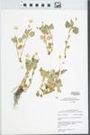 Viola pubescens var. eriocarpa (Schwein.) N.H.Russell by Mary C. Hruska