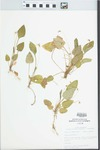 Viola primulifolia L. by John E. Ebinger