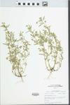 Viola rafinesquei Greene