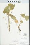 Viola pratincola Greene by Ben L. Dolbeare
