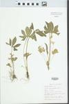 Viola triloba Schwein. by Bob Edgin