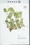 Viola striata Aiton by Loy R. Phillippe