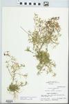 Polypremum procumbens L.