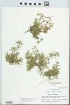 Polypremum procumbens L. by John E. Ebinger