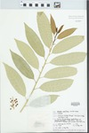 Melicytus ramiflorus J.R.Forst. & G.Forst