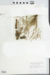 Arceuthobium campylopodum Engelm.
