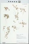 Portulaca oleracea L. by Loy R. Phillipe, Paul B. Marcum, and John E. Ebinger