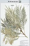 Grevillea robusta A. Cunningham ex R. Br.