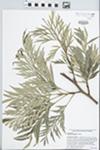Grevillea robusta A. Cunningham ex R. Br. by J. Richard Abbott