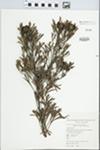 Isopogon anemonifolius (R.A. Salisbury) Knight by C. Burgess