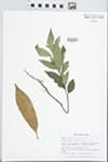 Helicia cochinchinensis Lour. by Gordon C. Tucker and Xun-lin Yu