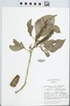 Roupala cataractarum Sleumer