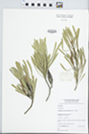 Strangea cynanchicarpa (Meisn.) F.Muell.
