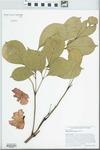 Radermachera elmeri Merr. by Richard J. Abbott