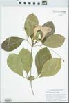 Saritaea magnifica (Sprague ex Stennis) Dugand by Richard J. Abbott