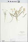 Claytonia virginica L. by H. R. Bennett