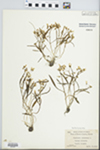 Claytonia virginica L. by Virginius H. Chase