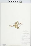 Lewisia pygmaea (A. Gray) B.L. Robins. by M. Doyle
