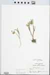 Claytonia virginica L.