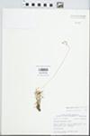 Phemeranthus calycinus (Engelm.) Kiger