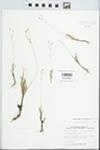 Phemeranthus rugospermus (Holz.) Kiger by John E. Ebinger