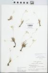 Phemeranthus parviflorus  (Nutt.) Kiger