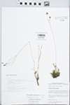 Phemeranthus rugospermus (Holz.) Kiger by William McClain