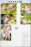 Phemeranthus rugospermus (Holz.) Kiger by William E. McClain
