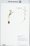 Claytonia virginica L. by Loy R. Phillippe