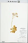 Lewisia columbiana (Howell ex A. Gray) B.L. Rob.