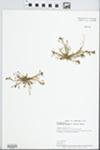 Calandrinia ambigua (S. Wats.) T.J. Howell by A. G. Vestal