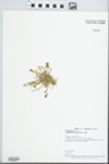 Calandrinia ciliata (Ruiz & Pav.) DC.