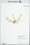 Calyptridium monandrum Nutt. by A. G. Vestal