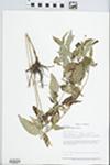 Lysimachia ciliata L. by Loy R. Phillippe, Connie Carroll, Dan Busemeyer, and Brenda Molano-Flores