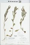 Lysimachia lanceolata Walter by W. Pichon and Hampton Parker