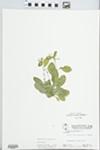 Samolus valerandi L. by W. Pichon and Hampton Parker