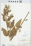 Lysimachia ciliata L. by R. D. Hudnut and Hiram F. Thut