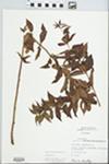Lysimachia quadrifolia L.