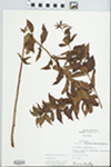 Lysimachia quadrifolia L. by Fred A. Barkley