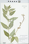 Lysimachia ciliata L. by Kerry Barringer