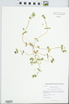Anagallis arvensis L.