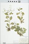 Samolus parviflorus Raf. by Virginius H. Chase