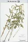 Lysimachia terrestris (L.) Britton, Sterns & Poggenb.