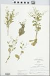 Samolus valerandi L. by Larry Dennis
