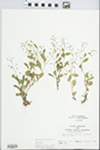 Samolus valerandi L.