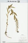 X Lysimachia producta (A. Gray) Fernald (pro sp.) [quadrifolia × terrestris] by John E. Ebinger