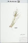 Androsace septentrionalis L. by John E. Ebinger