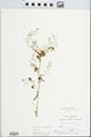 Samolus valerandi L. by Hampton M. Parker