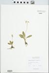 Dodecatheon cylindrocarpum Rydb. by J. Looman
