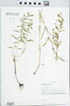 Lysimachia quadriflora Sims by Loy R. Phillippe